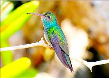 Humming Bird Honduras_edited.jpg