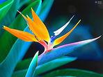 Hawaiian Bird of Paradise.jpg