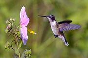 Huming Bird Lilac.jpg