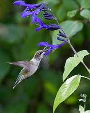 Humming Bird Honey Suckle.jpg