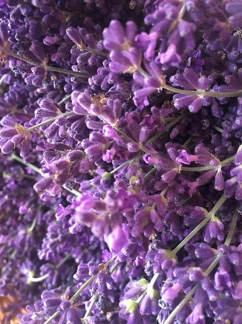 Munstead Lavender Seedling