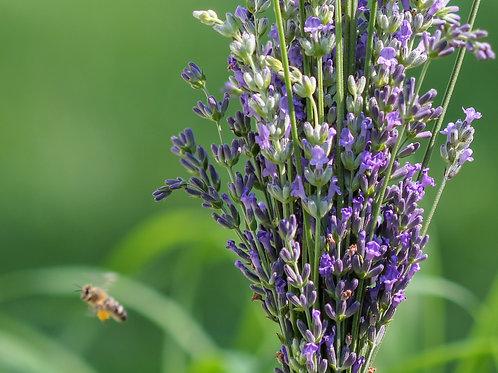 Grosso Lavender Seedling
