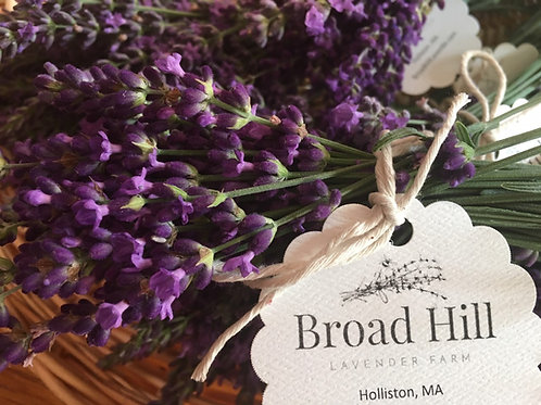 Hidcote Lavender Seedling