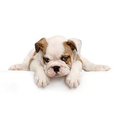 Engelsk Bulldog.jpg