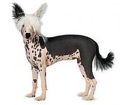 Chinese Crested.jpg