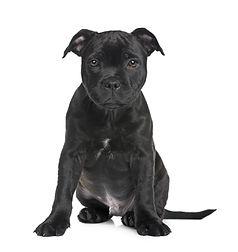 Staffordshire Bull Terrier.jpg