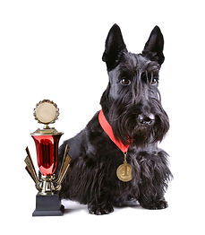 Skotsk Terrier.jpg