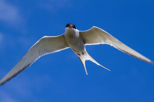 Kria, Artic Tern