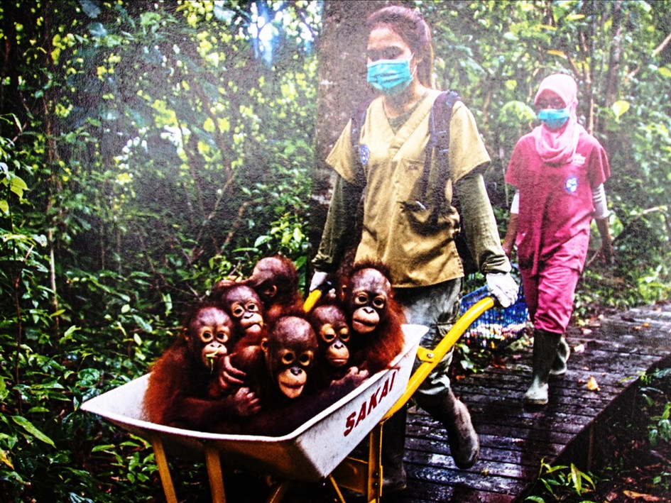 Tödliches Palmöl - Orang Utan Waisen