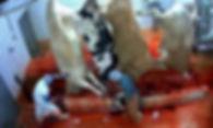 Schlachthaus Rinder mesoopinions.jpeg