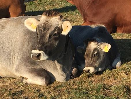 Das Leiden der Rinder