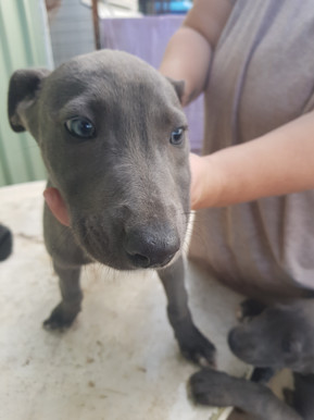 Daniff hounds puppies for sale