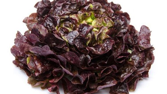 Salade feuille de chêne rouge la pièce