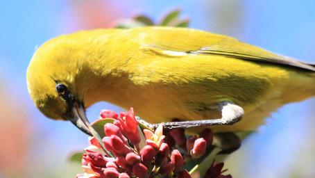 SYMPHONY OF HAWAIIAN BIRDS