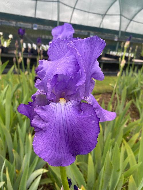 Violet Harmony (TB)