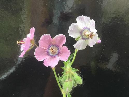 Geranium Phaeum - Wendy's Blush