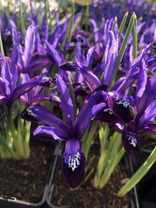 Iris Reticulata - Blue Note
