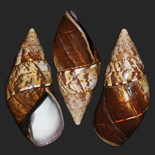 Metorthalicus adamsoni (39.25usd).jpg