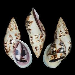 Drymaeus spadiceus gem.jpg