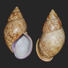 Porphyrobaphe iostoma (23.50usd).jpg