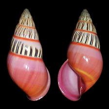 Amphidromus anthonyabotti 2.jpg