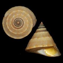 Calliostoma javanicum (47.83usd).jpg
