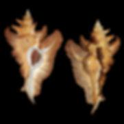 Murex (Petrochelus) acanthopterus (45.00