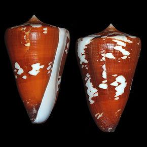 Conus crocatus thailandis (100.19usd).jp