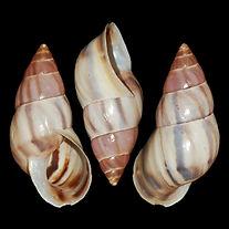 Drymaeus tenuilabris.jpg