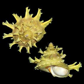 Bolma girgyllus (41.07usd).jpg