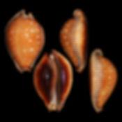 Cypraea (Erosaria) guttata surinensis (3