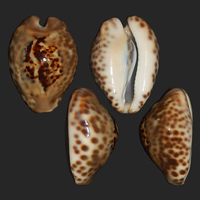 Cypraea teuleri (58.81usd).jpg