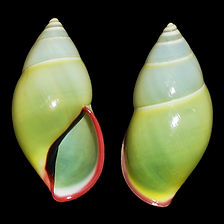 Amphidromus phamanhi (10.00usd).jpg