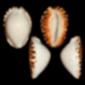 Cypraea (Zoila) ketyana ketyana2.jpg