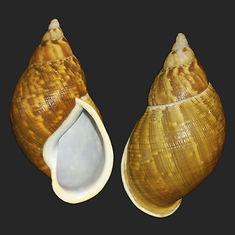 Porphyrobaphe irroratus (27.75usd).jpg