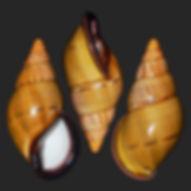 Porphyrobaphe vicaria (100.00usd).jpg