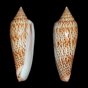 Conus ranonganus (95.95usd).jpg