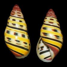 Amphidromus bernardfamyi (9.90usd).jpg