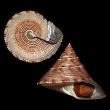 Calliostoma formosense (20.47usd).jpg
