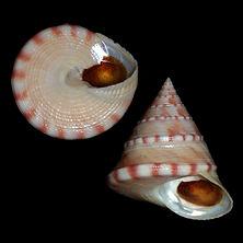 Calliostoma zizyphinum (41.30usd).jpg
