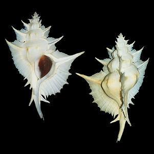 Murex (Siratus) alabaster (30.00usd).jpg