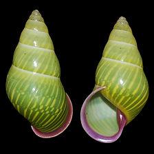 Amphidromus alicetandiasae.jpg