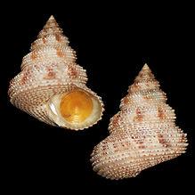 Calliostoma militaris (40.27usd).jpg