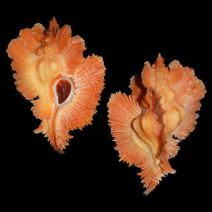 Murex (Pterynotus) loebbeckei (956.87usd