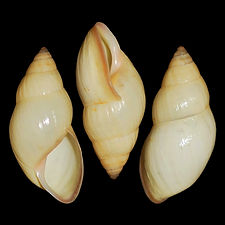 Drymaeus flavidus.jpg