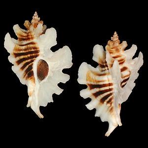 Murex (Pteropurpura) trialata (78.13usd)