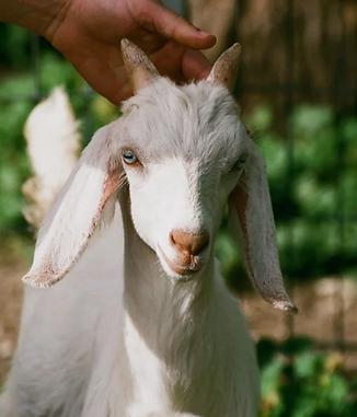 C. burnetii animal vaccine