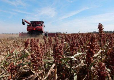 Estiman que Argentina tendrá una cosecha histórica de maíz y sorgo
