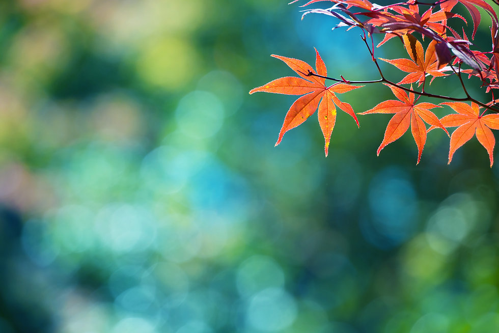 Beautiful colors of autumn. Red Japanese