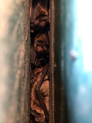 roosting in wall.jpg